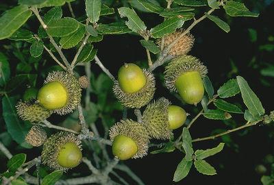Quercus calliprinos