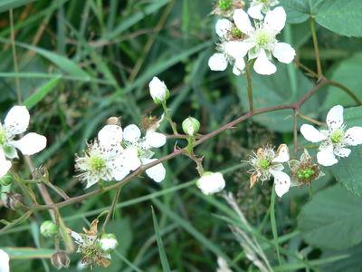 Rubus bertramii