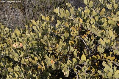 Simmondsia chinensis