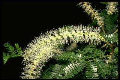 Mimosa tenuiflora