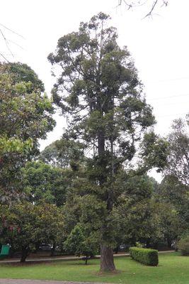 Retrophyllum rospigliosii(Pilg.) C.N.Page
