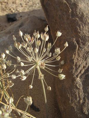 Allium sindjarense