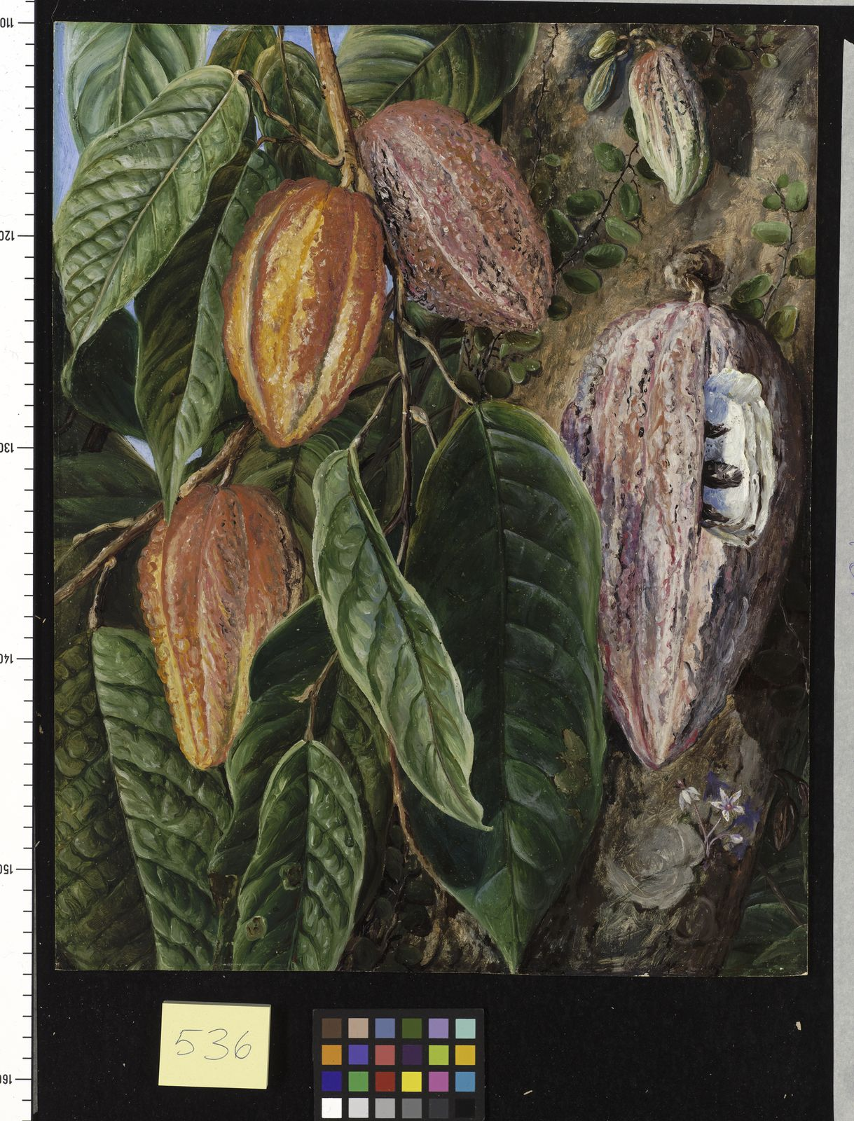 Theobroma cacao l plants of the world online kew science ksp ntk laa sciox Image collections