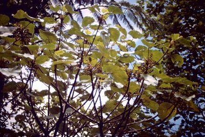 Macaranga marikoensis