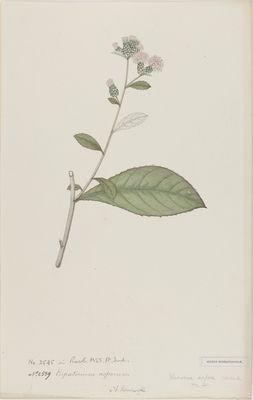 Eupatorium asperum Roxb., watercolour on paper