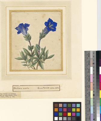 Gentiana acaulis, watercolour on paper