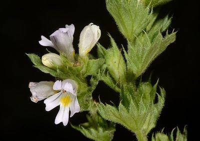 Euphrasia pectinata