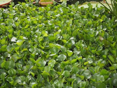 Pontederia crassipes