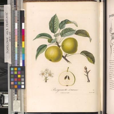 Bergamotte d'automne, Poiteau, Pomologie Française