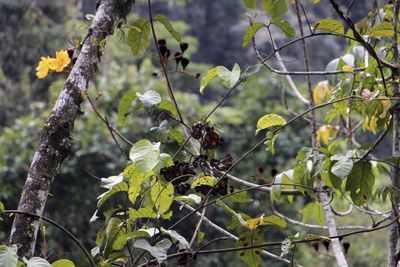 Cochlospermumvitifolium(Willd.) Spreng.