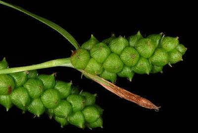 Carex granularis