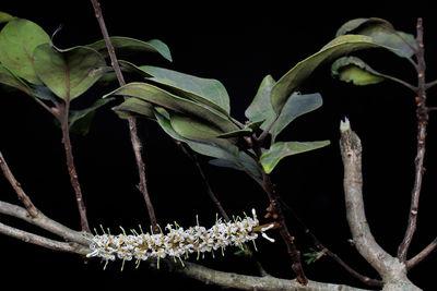 Roupala montana