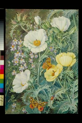 Mexican Poppies, Chilian Schizanthus and Insects
