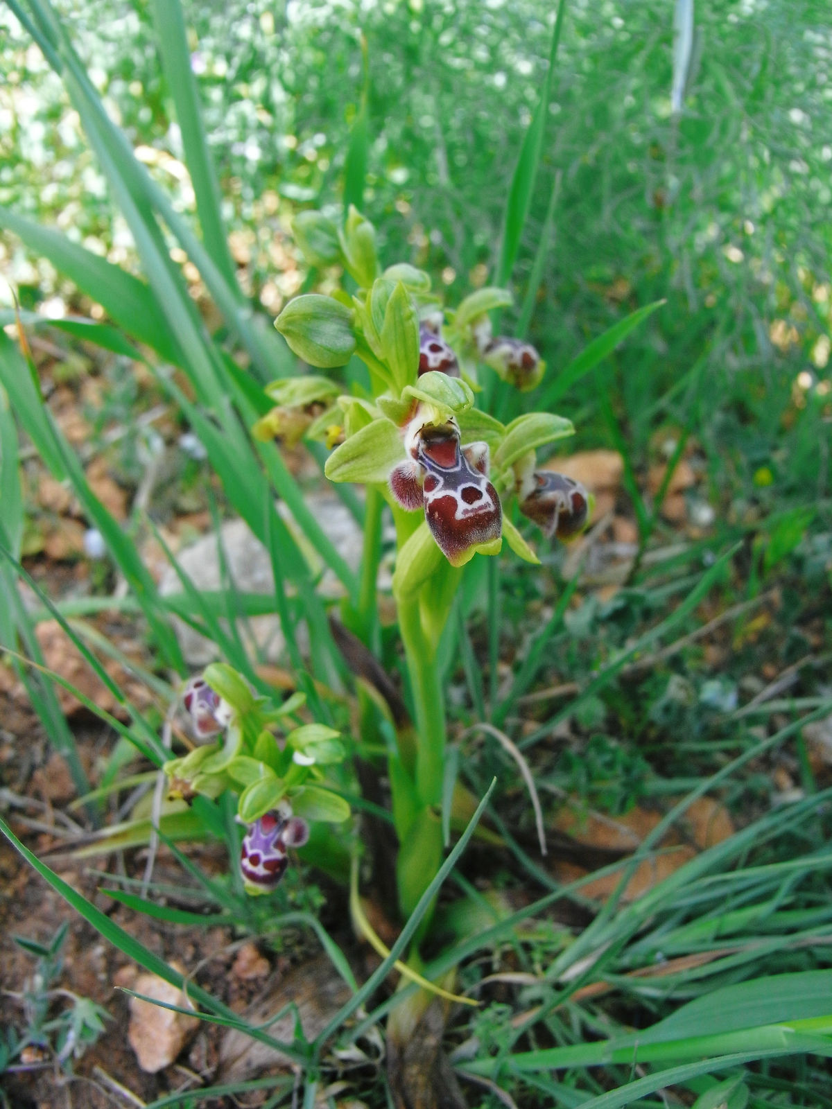 Ophrys tenthredinifera tuber 2 years old