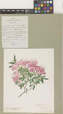 Azalea variegata var.