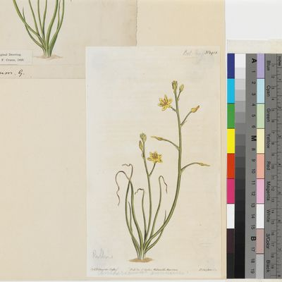 Anthericum annuum Linn. published illustration from Curtis's Botanical Magazine