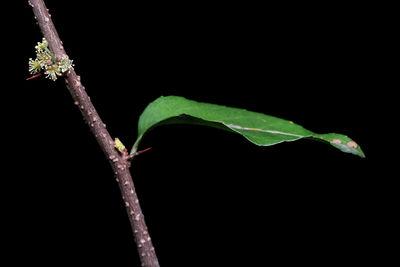 Xylosma flexuosa
