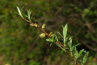 Salix cheilophila