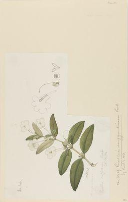 Ruellia suffruticosa R., watercolour on paper