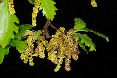 Quercus petraea subsp. polycarpa