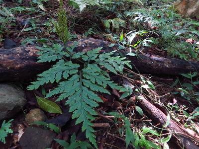 Botrychium daucifolium