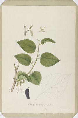 Morus atropurpurea R., watercolour on paper