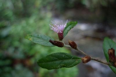 Lepidaploa salzmannii (DC.) H.Rob.