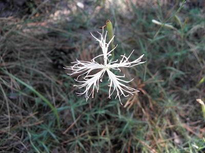 Dianthus squarrosus