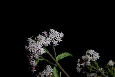 Stevia monardifolia