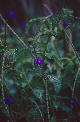 Hydrangea Gronov. ex L.
