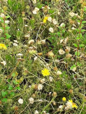 Haplopappus chrysanthemifolius