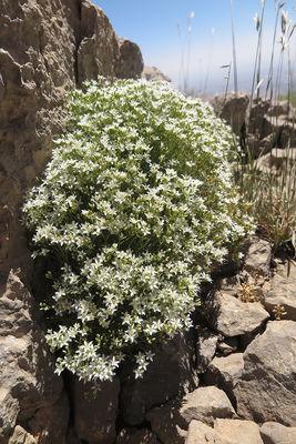Sabulina juniperina