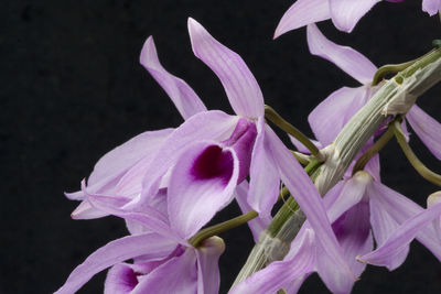 Dendrobium anosmum Lindl.
