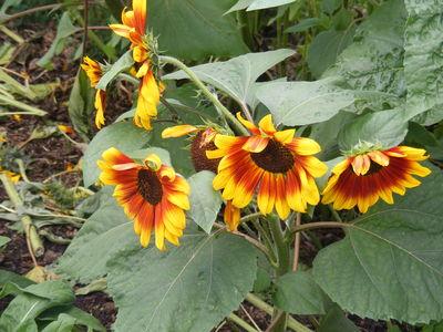 Helianthus annuus 'Autumn Beauty'