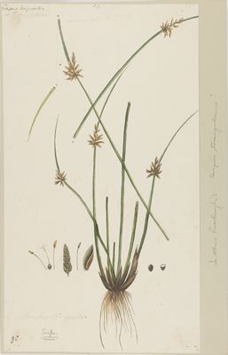 Scirpus triangulatus R., watercolour on paper