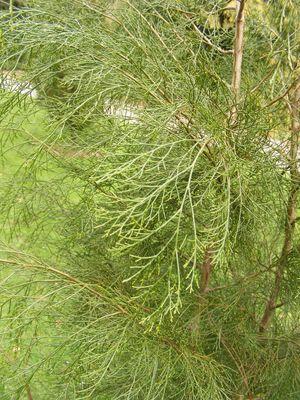 Platycladus orientalis 'Pendula'