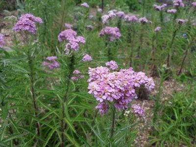 Achillea alpina subsp. pulchra