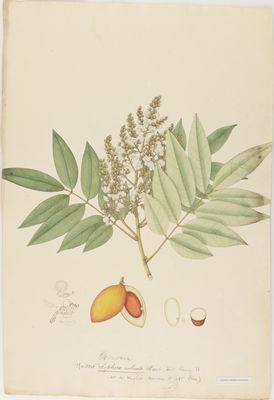 Sophora robusta, watercolour on paper