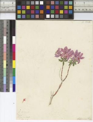 Rhododendron setosum, Joseph Hooker