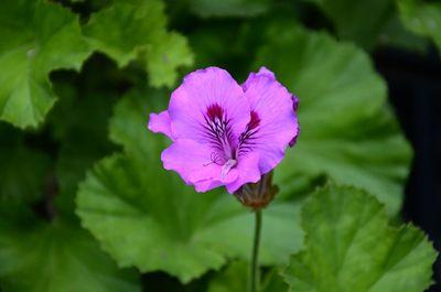 Pelargonium × domesticum