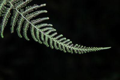 Thelypteris pilosula