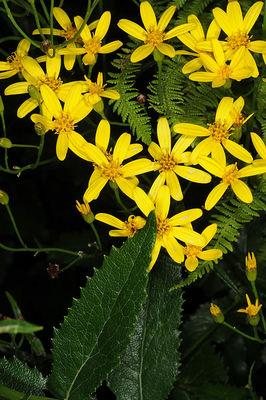 Caucasalia parviflora