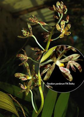 Dipodium pandanum