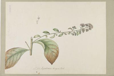 Eupatorium divergens Roxb., watercolour on paper