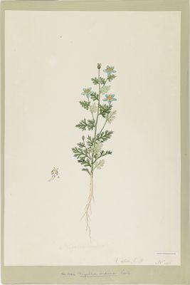 Nigella indica R., watercolour on paper