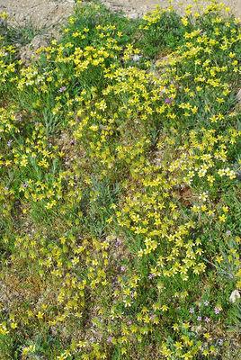 Ranunculus isthmicus
