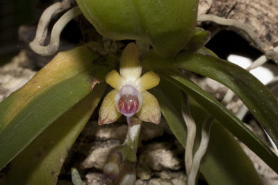 Diploprora championii (Lindl. ex Benth.) Hook.f.