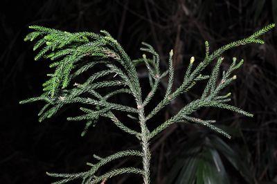 Dacrydium pectinatum