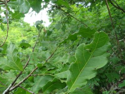 Coccoloba liebmannii