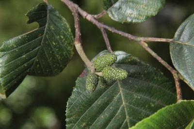 Alnus acuminata subsp. arguta